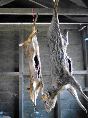 Hanging the Muntjac